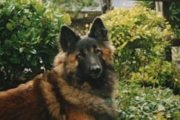 Belgian Tervuren Sheepdog - Chaz